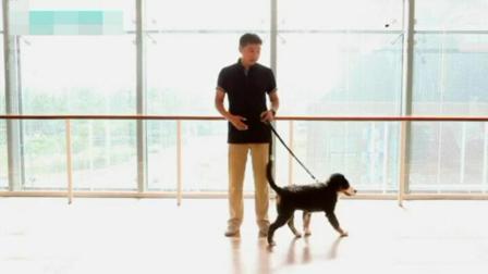 怎样养泰迪狗 训练泰迪狗狗教程视频 狗狗应该怎么训练