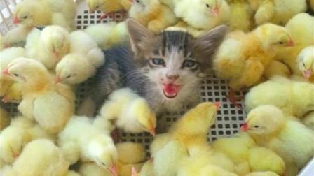 猫咪被小黄鸡淹没! 猫: 不敢动真不敢动!