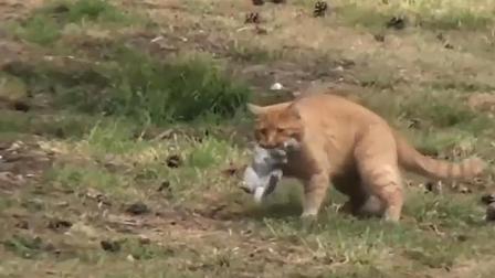 猫抓老鼠是见过不少, 但是抓兔子还是头一次见