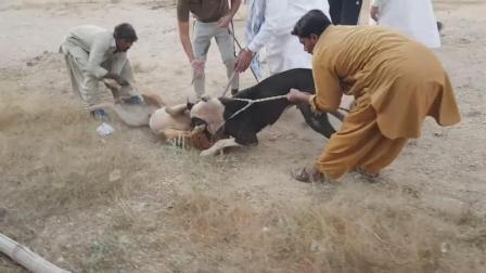 巴基斯坦残酷的斗狗场面, 黑狗咬死不松口