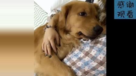 金毛轮胎被誉为全网第一神犬, 身价可超百万, 主人都不把它当狗!