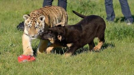 把老虎和狗关在一起