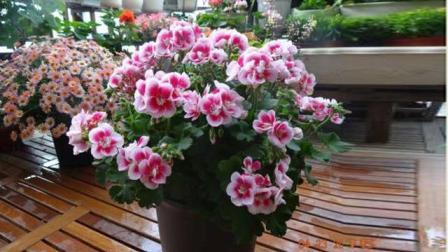 怪不得都养天竺葵, 这么养轻松开爆盆, 都不敢相信这是真花!