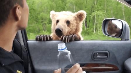 俄罗斯的熊为什么那么怂? 看完你就知道被揍多了, 谁都得怂!