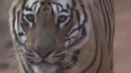 猛虎厉害还是花豹厉害我们一起来看老虎和花豹与野猪的战斗