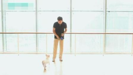 如何训练泰迪狗狗视频教程 泰迪怎么训练站着走路 狗如何训练大小便