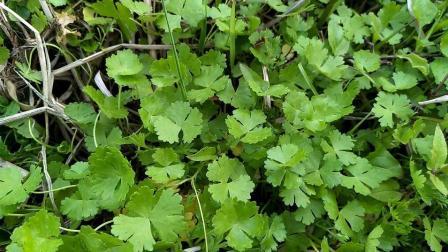 这味农村常见的草药可清热利尿, 凉血解毒, 也可用于急性胆囊炎