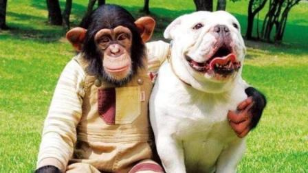 黑猩猩小庞和小狗詹姆斯路遇大狗, 小庞想的办法把人笑翻了