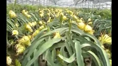 火龙果种植技术(上)如何栽培火龙果教程 怎样种植火龙果