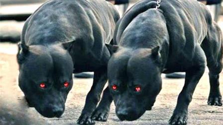 世界最凶的犬, 一身肌肉爆炸, 20公斤重就可以单挑全球任何犬类