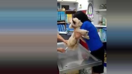女主人带泰迪量体温, 温度计一插进去, 狗狗的反应让人笑翻了!