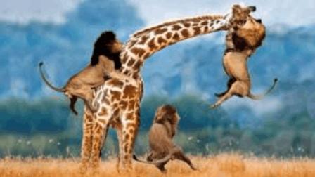 3头狮子大战1只长颈鹿! 狮子: 我饿起来谁都吃!