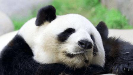 中国大熊猫在美国和泰国的不同差异, 看着都心疼