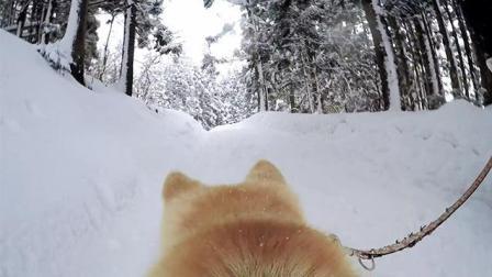 """财新短视频 谷歌推出""""Dog View""""的街景地图 与秋田犬同游日本"""