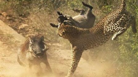 这野猪可能是疯了! 豹子正在河边喝水, 突然上去攻击豹子!