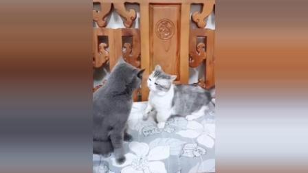 猫咪你手短就不要打架了, 吃亏的是自己啊!