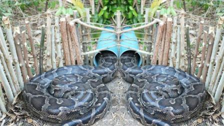 柬埔寨的大蟒蛇, 看当地男孩是怎么设陷阱捕捉到大蟒蛇的, 厉害了