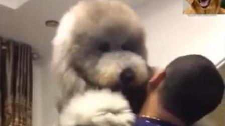 大宝贝巨贵犬像孩子一样要抱抱, 太可爱了
