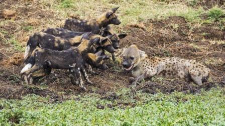 鬣狗大战野狗, 鬣狗被生生吃掉 掏肝的结果!