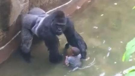5岁男孩失足掉猩猩窝! 路人不知所措惊慌大叫, 可是大猩猩的做法让人沉默了
