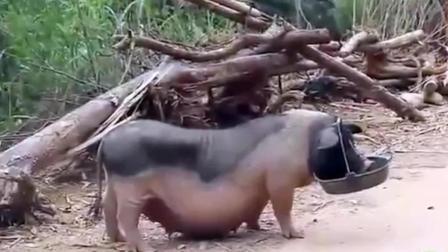 猪都很笨吗? 看完这头母猪保证让你颠覆三观, 太聪明了!