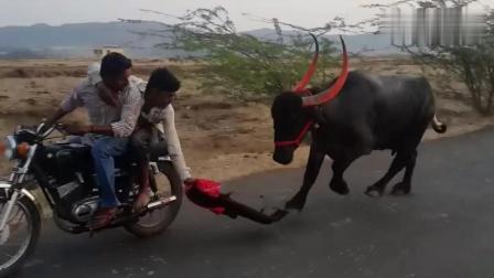 笑死我了! 印度街头骑摩托车斗牛! 是吃饱着撑着没事做吗?