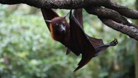 蝙蝠是老鼠长翅膀进化的吗? 它们之间有什么关系?