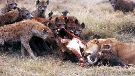 宁肯战死也不退缩, 身负重伤的老狮王顽强对抗凶残斑鬣狗