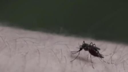 研究表明: 蚊子有记忆能力, 谁手慢就叮谁! 那我活该被叮?