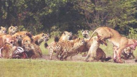 30只鬣狗大战一头雄狮, 真没想到会是这结局!
