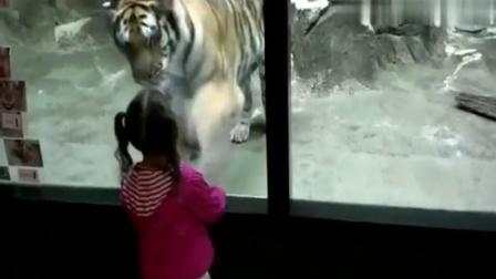 实拍熊孩子动物园逗狮遛熊 嗨翻了...