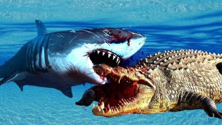 湾鳄VS大白鲨, 谁才是正在的海岸霸主, 一战见分晓