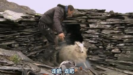 贝爷到底对绵羊做了什么? 大清早绵羊跑的惊慌失措!
