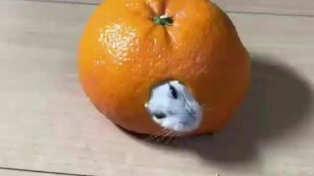 主人脑洞真大, 居然用橘子给仓鼠做了个窝, 可爱不止一点点~