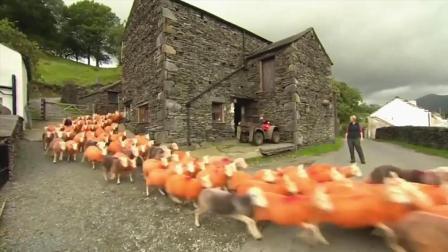 4年被偷300只羊,大叔将羊染成橘色防盗