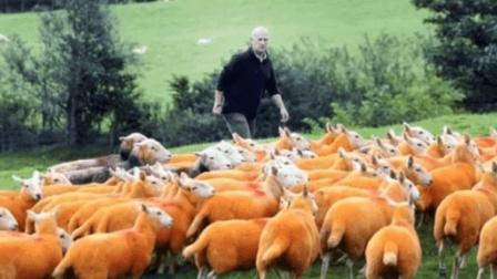 外国牧场主神技能! 为防止羊丢失, 将羊全部染为橙色!