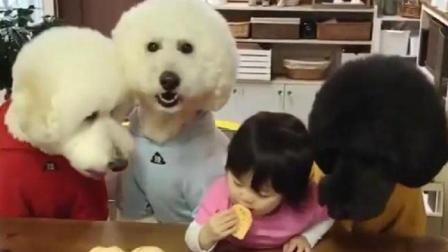 自从养了三只巨贵犬, 小主人就再也没吃到过面包了