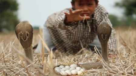 3个男孩发现田边有一窝蛋, 底下竟藏了2条可怕的眼镜蛇, 好吓人