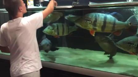 鱼缸混养风格: 这一缸大猛货, 一般人可hold不住哦