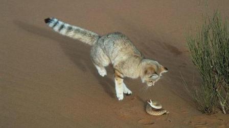 生活在沙漠的猫 蛇都不怕 成为宠物却成它最致命的杀手 濒临灭绝