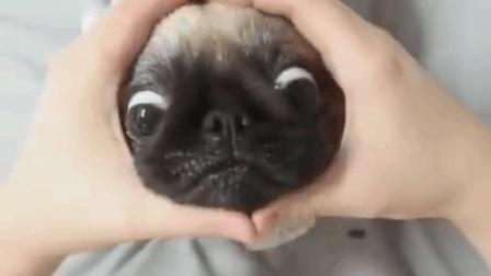 主人用手比划个爱心, 巴哥犬就把头钻进去, 翻白眼的样子太可爱!