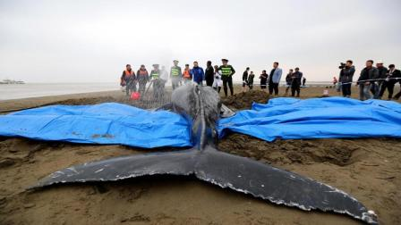 为什么巨鲸搁浅时, 人类只能看着它死去呢? 说出来你都不敢相信