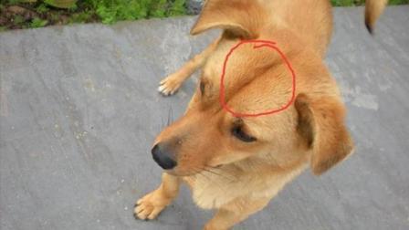 为什么老人说额间没竖线的狗狗, 千万不能养?