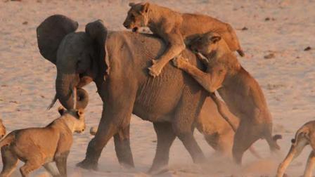 14只狮子围攻一只大象, 大象: 有本事来单挑!
