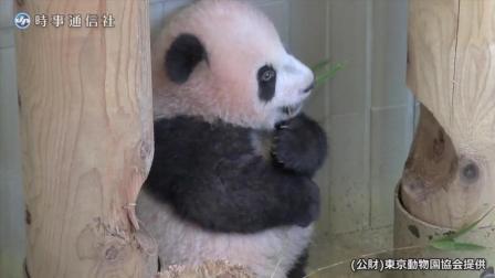 生活在日本动物园的萌萌的熊猫宝宝