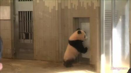 动物园的熊猫宝宝想要开门出去呢