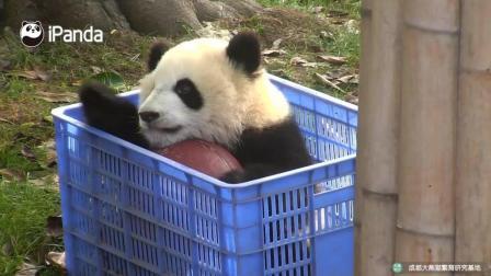 熊猫宝宝们就是喜欢蓝色的篮子欲罢不能啊