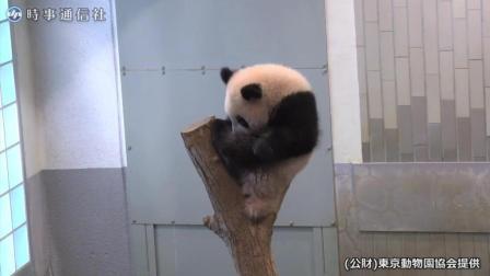 熊猫宝宝在动物园玩的好high 太开心了