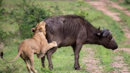 狮子被水牛后腿一蹬, 狮子胸腔崩裂, 可怜的狮子