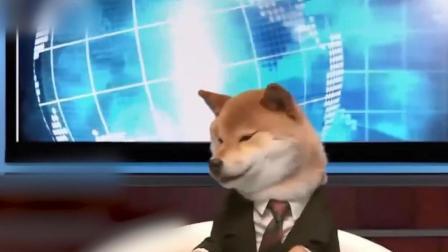 实拍柴犬上节目当主播, 现场放飞自我, 导播: 谁让你睡觉的?